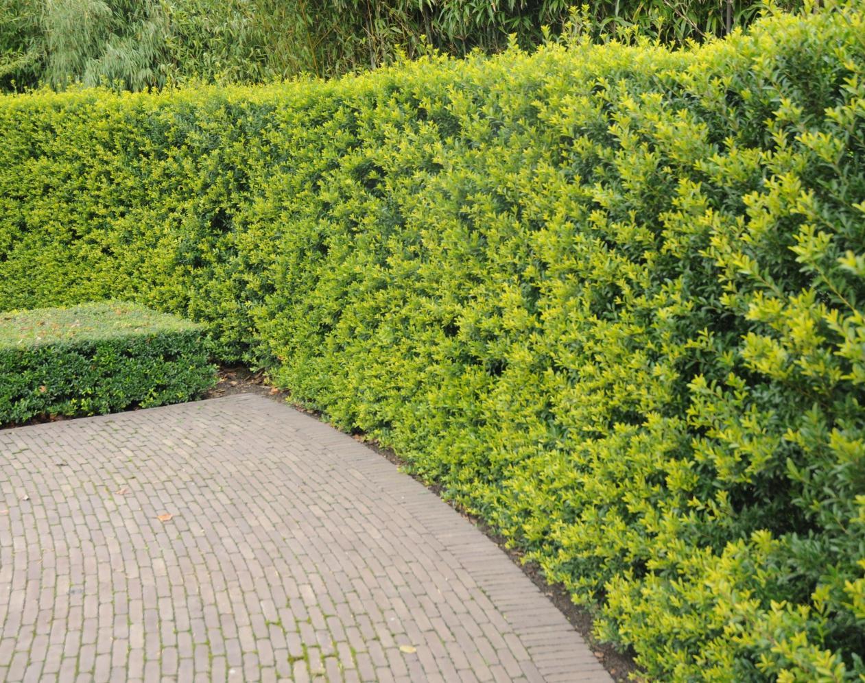 20 Stück ilex crenata Green Hedge 15-20 cm Buchsbaum Ersatz Heckenpflanze