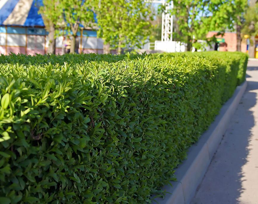 10 Stück Kirschlorbeer Rotundifolia Heckenpflanze Prunus im Container 60-80 cm