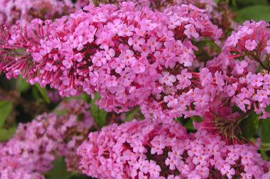 Schmetterlingsstrauch 'Pink Delight'