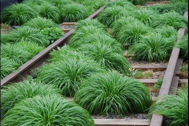 Japansegge 'Evergreen'