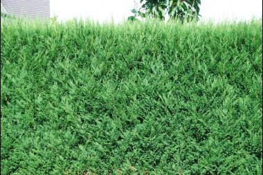 Grüne Leyland-Zypresse