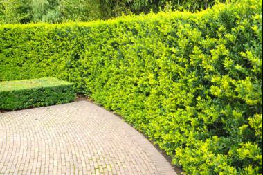 Berg-Ilex 'Green Hedge'