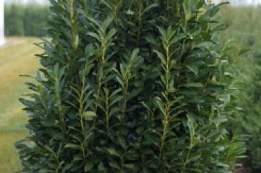 Kirschlorbeer 'Elly'®