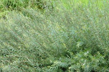 Niedrige Purpur-Weide