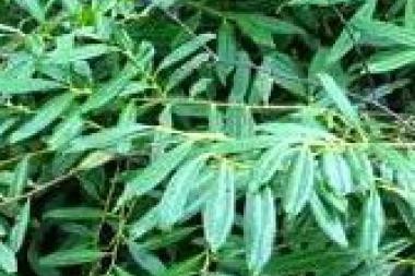Kirschlorbeer 'Zabeliana'