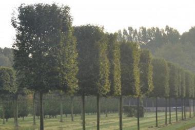 Vorgezogene Spalierbäume