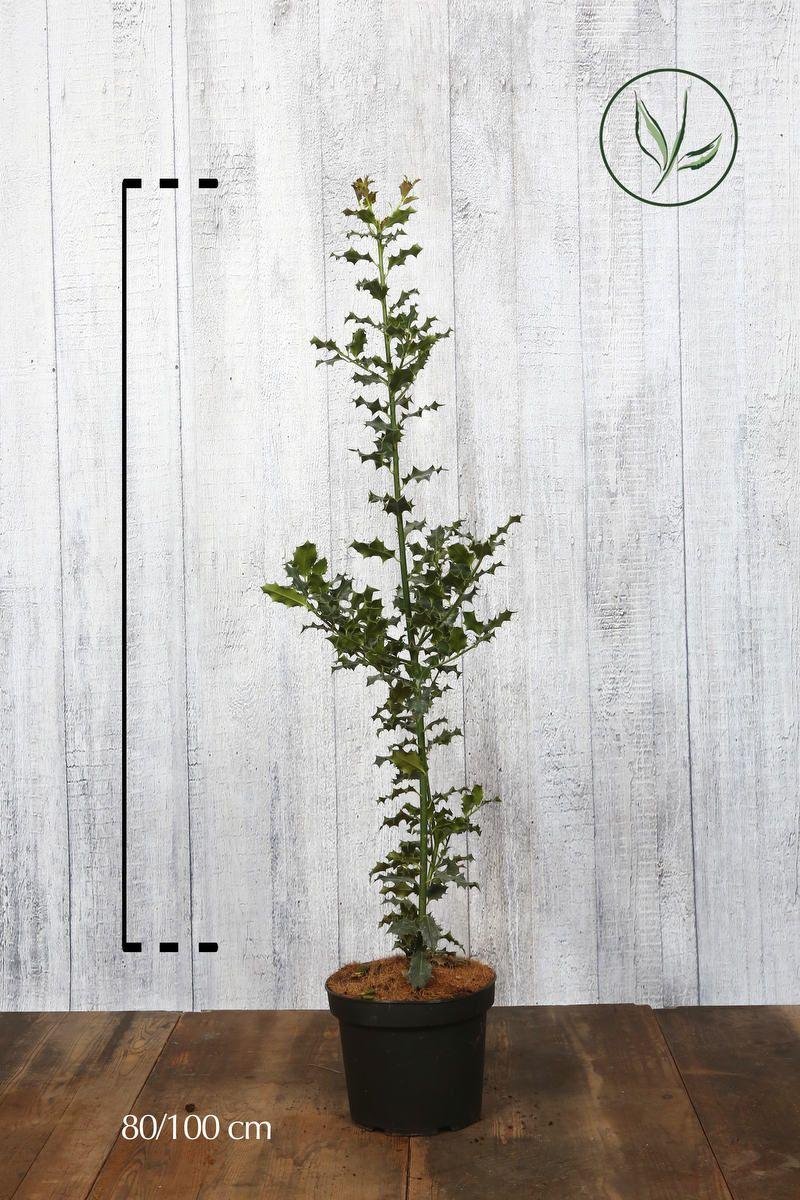 Stechpalme Topf 80-100 cm
