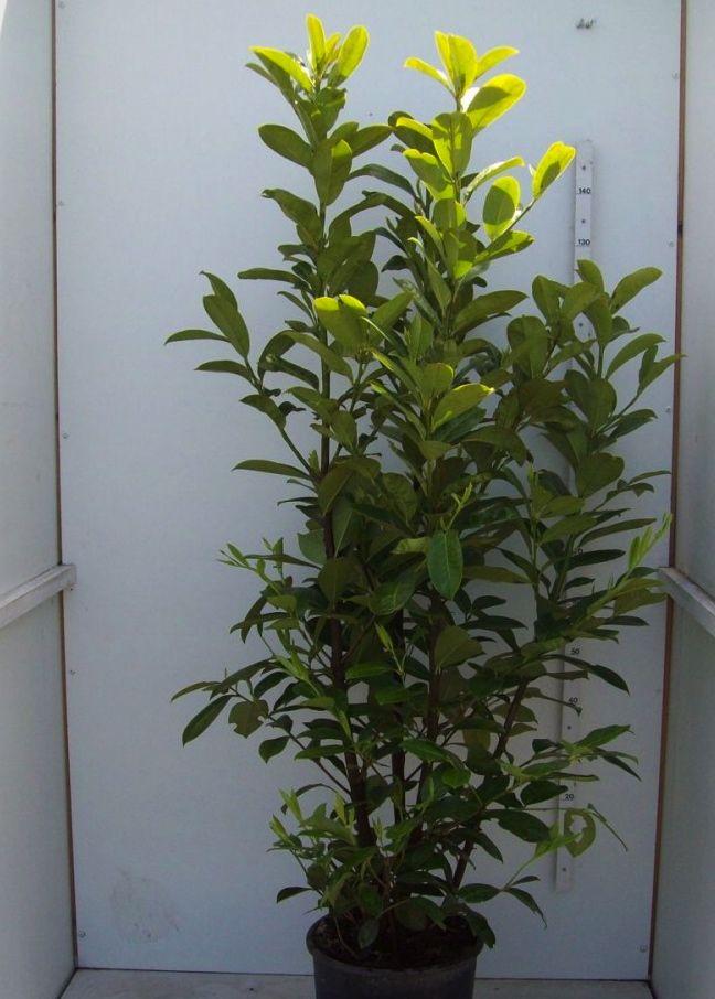 Kirschlorbeer 'Novita' Topf 150-175 cm