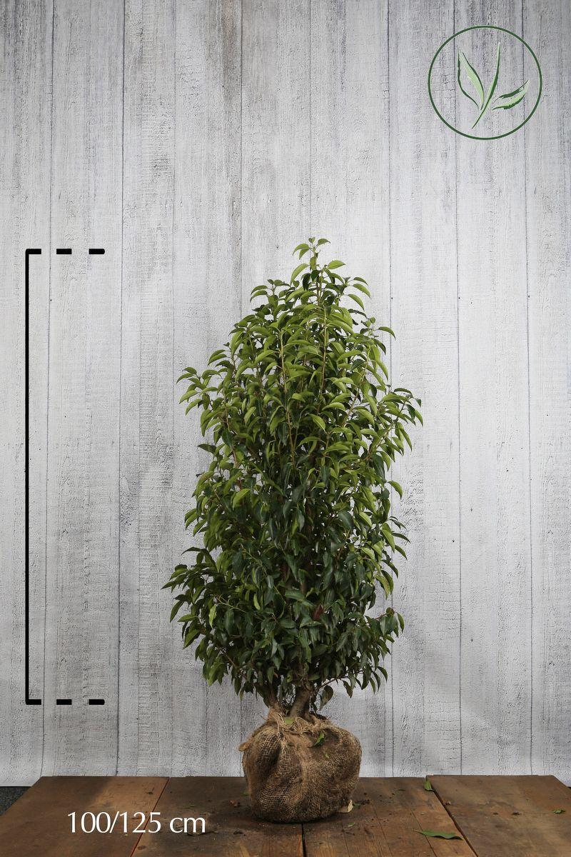 Portugiesischer Kirschlorbeer  Wurzelballen 100-125 cm