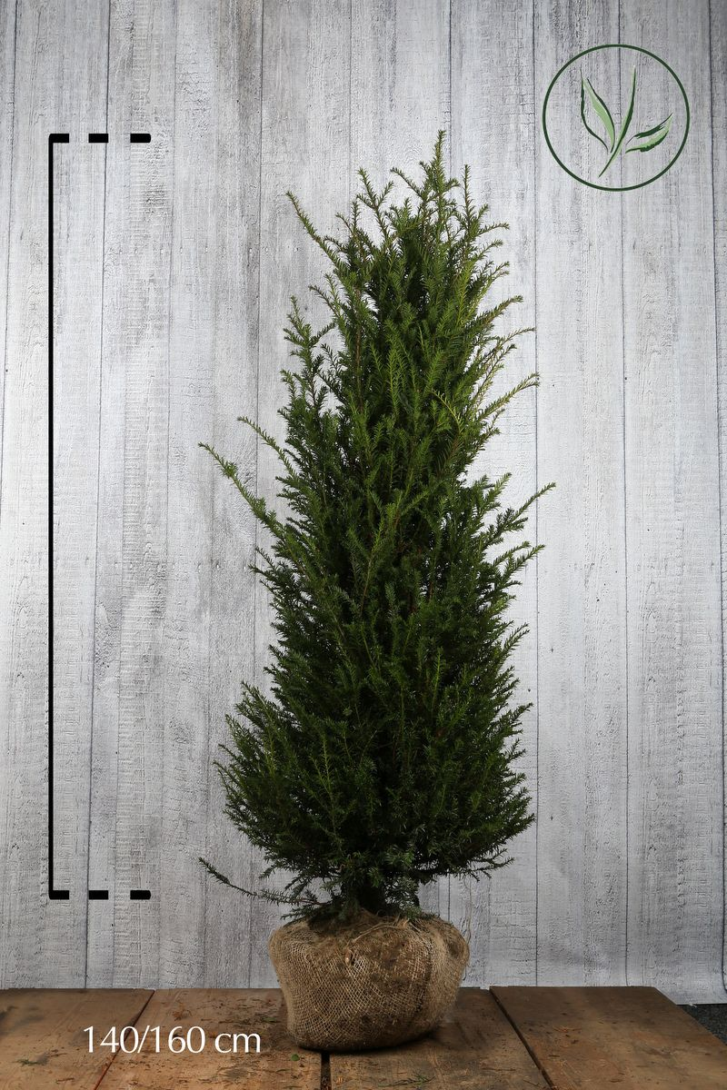 Gemeine Eibe Wurzelballen 140-160 cm Extra Qualtität