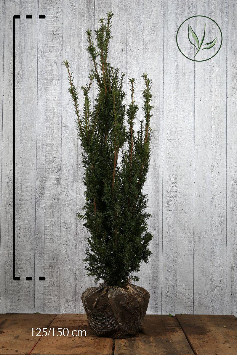 Fruchtende Becher-Eibe Wurzelballen 125-150 cm