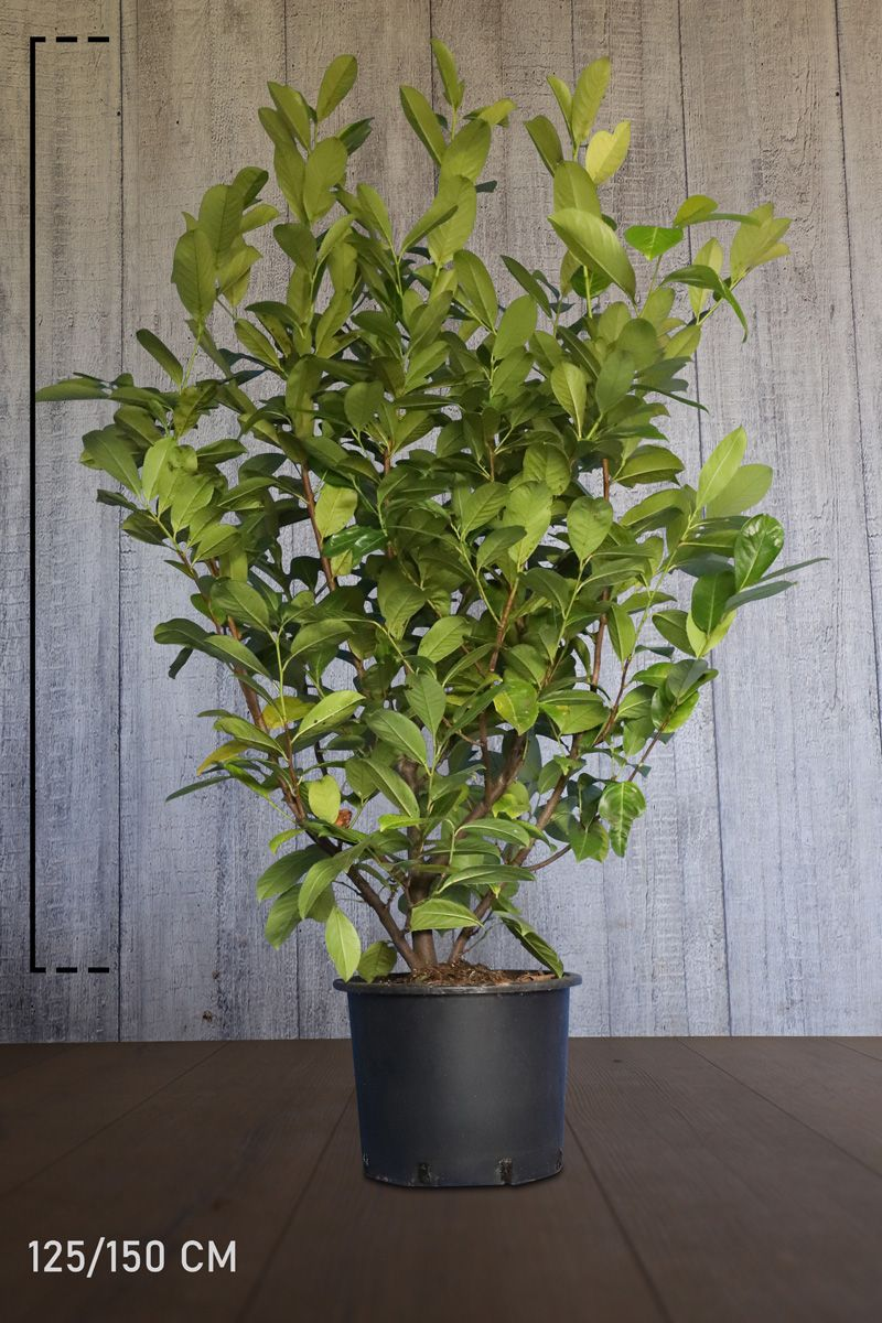 Großblättriger Kirschlorbeer  Topf 125-150 cm Extra Qualtität