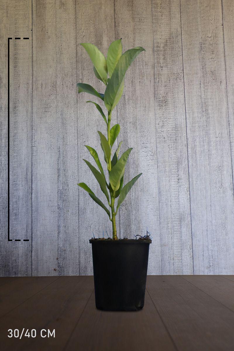 Großblättriger Kirschlorbeer  Topf 30-40 cm