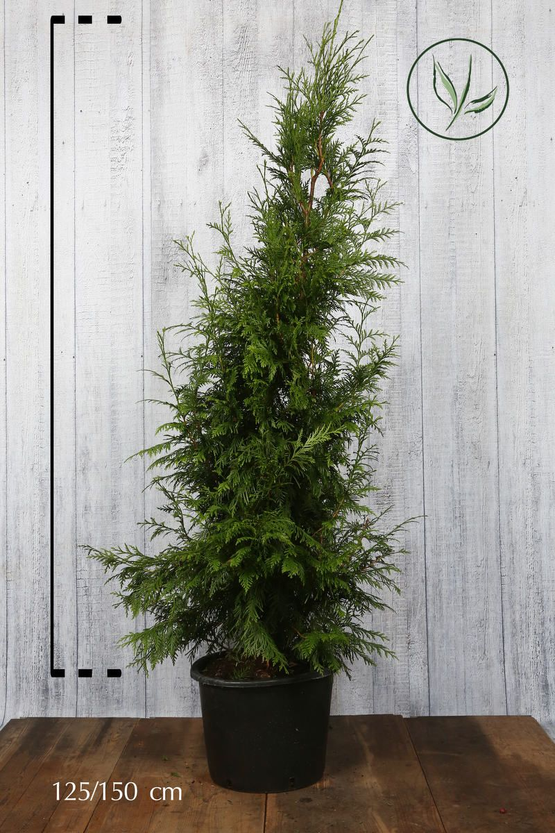 Lebensbaum 'Excelsa' Topf 125-150 cm Extra Qualtität