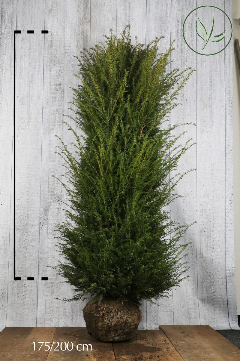 Gemeine Eibe Wurzelballen 180-200 cm Extra Qualtität
