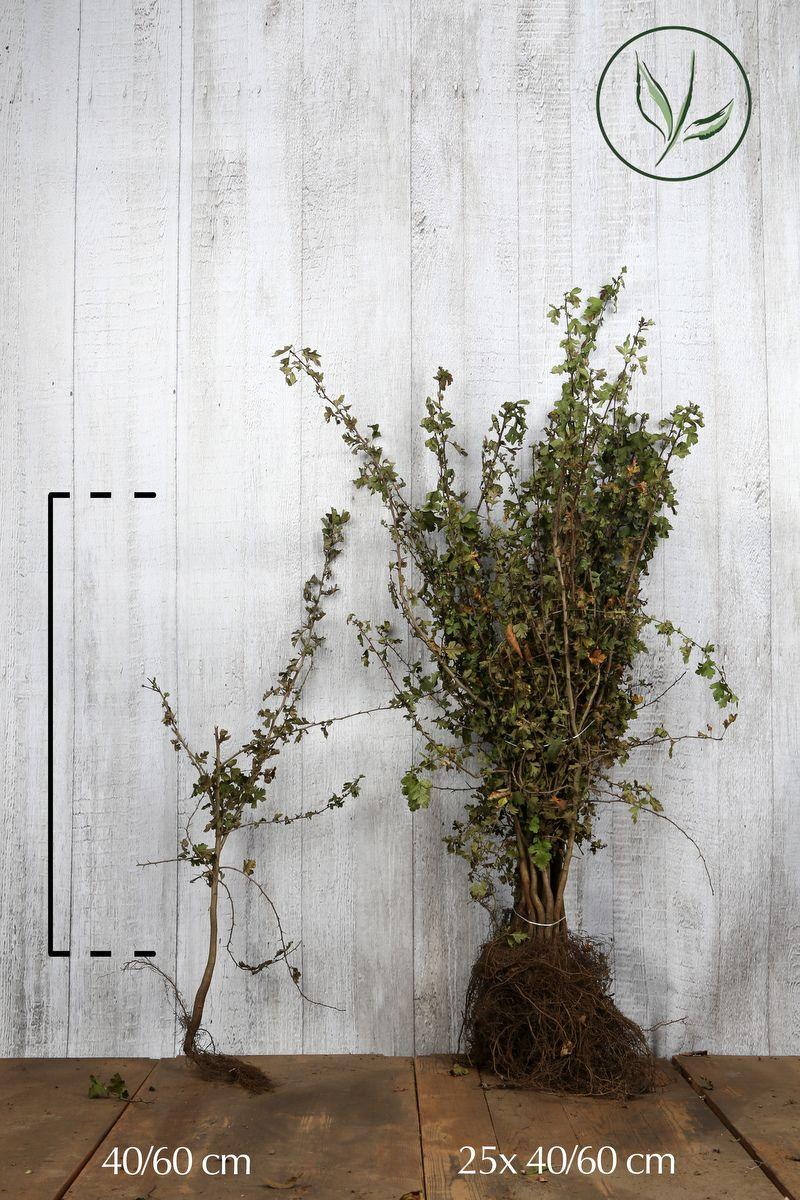 Eingriffeliger Weißdorn  Wurzelware 40-60 cm
