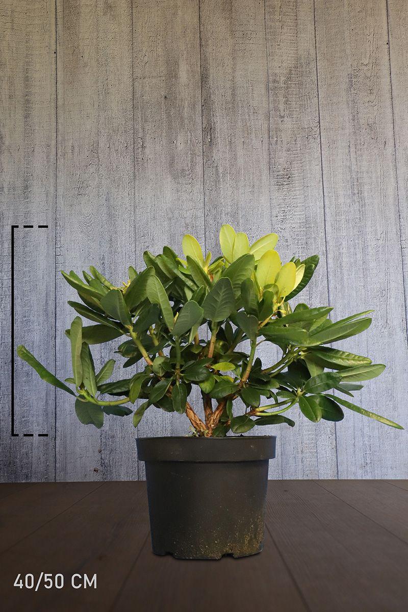 Rhododendron 'Scintillation'  Topf 40-50 cm Extra Qualtität