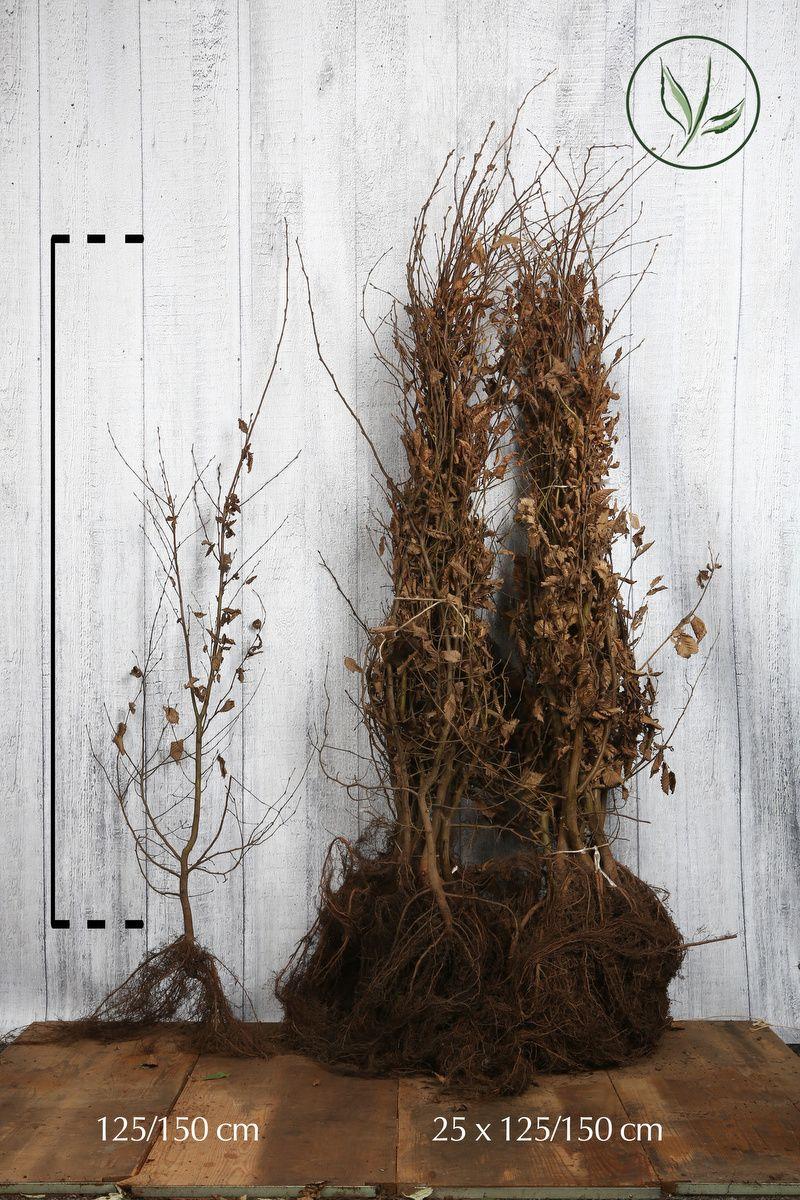 Hainbuche, Weißbuche  Wurzelware 125-150 cm Extra Qualtität