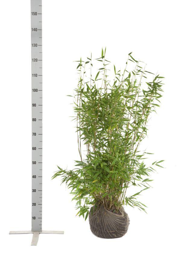 Schirmbambus 'Jumbo' Wurzelballen 80-100 cm