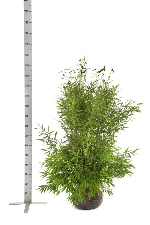 Schirmbambus 'Jumbo' Wurzelballen 100-125 cm