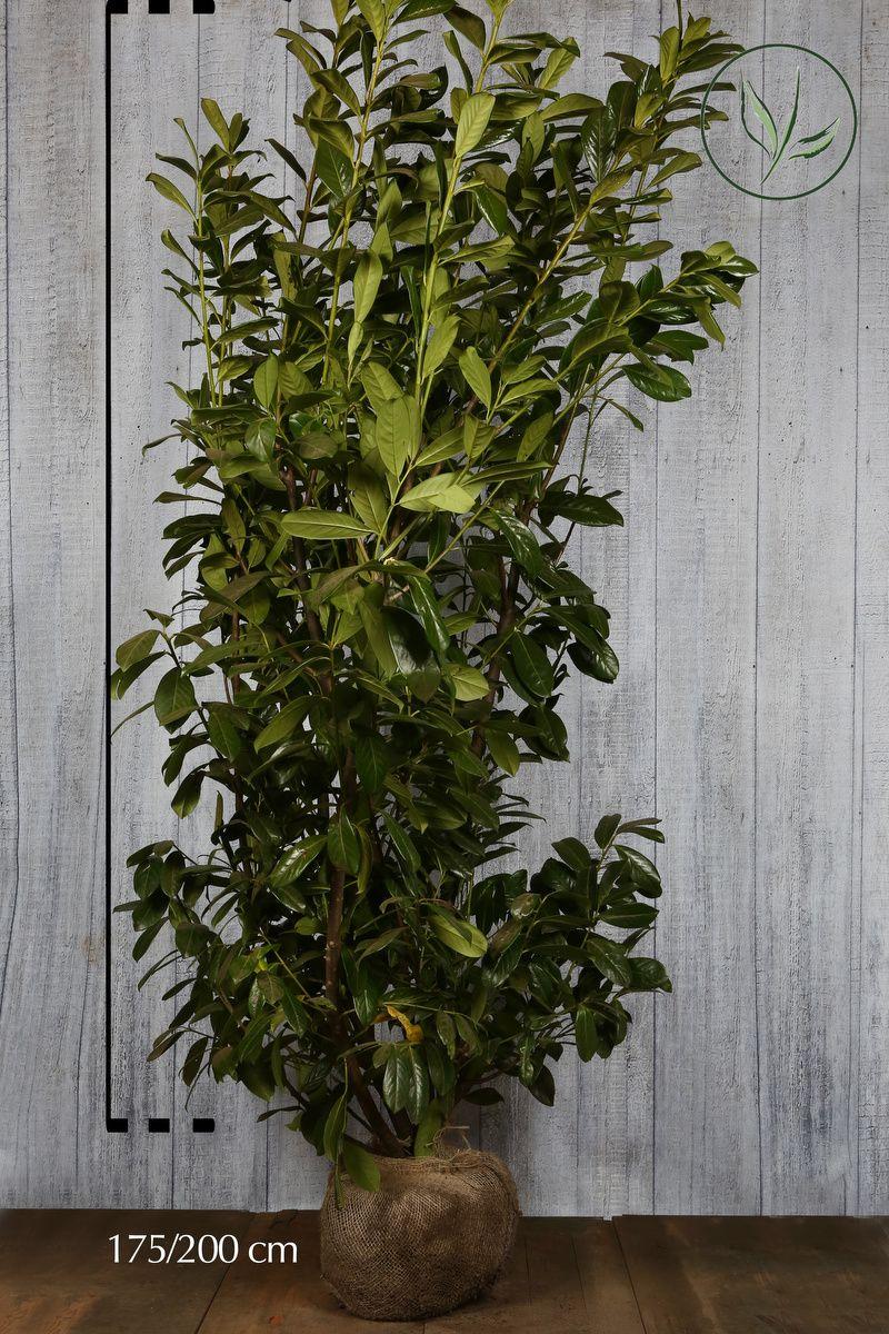 Kirschlorbeer 'Novita' Wurzelballen 175-200 cm Extra Qualtität