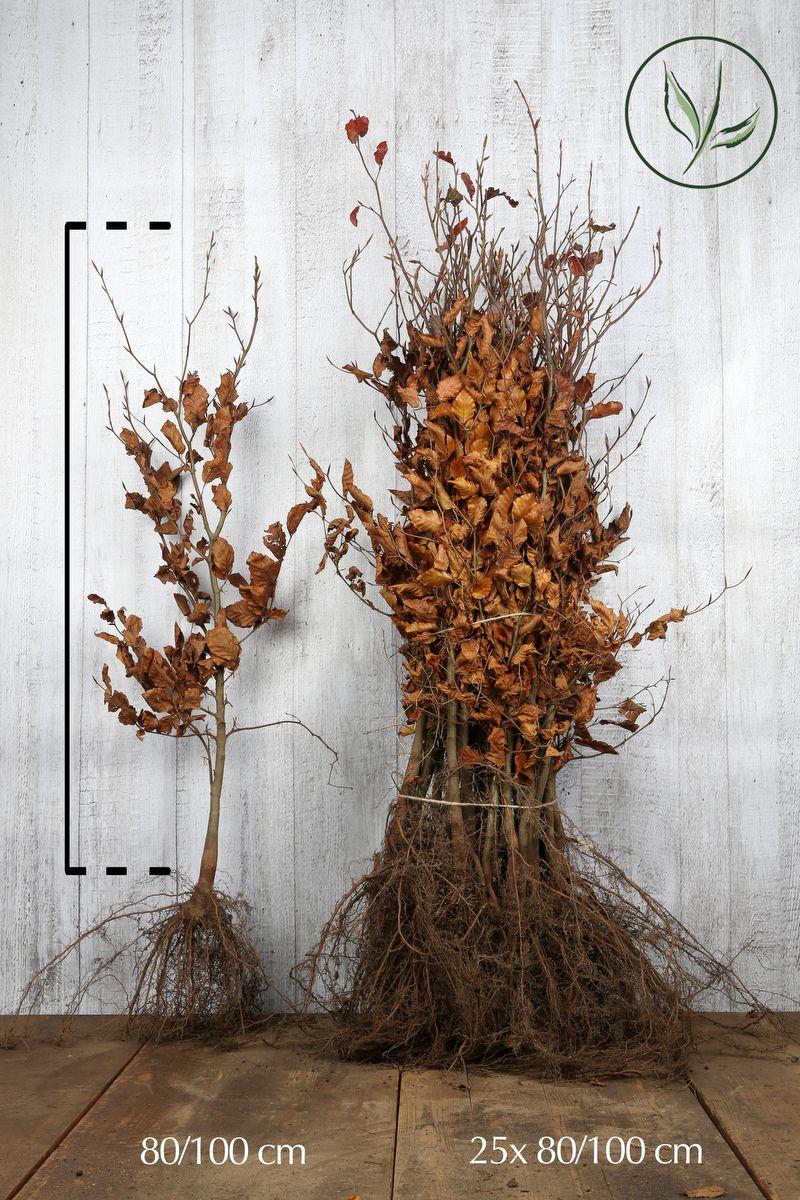 Blutbuche   Wurzelware 80-100 cm Extra Qualtität