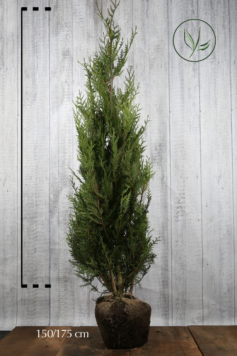 Lebensbaum 'Atrovirens' Wurzelballen 150-175 cm