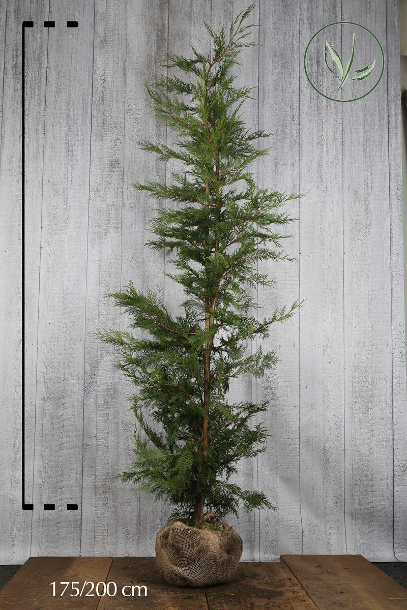 Grüne Leyland-Zypresse Wurzelballen 175-200 cm