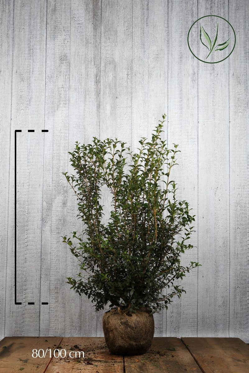 Burkwoods Duftblüte Wurzelballen 80-100 cm