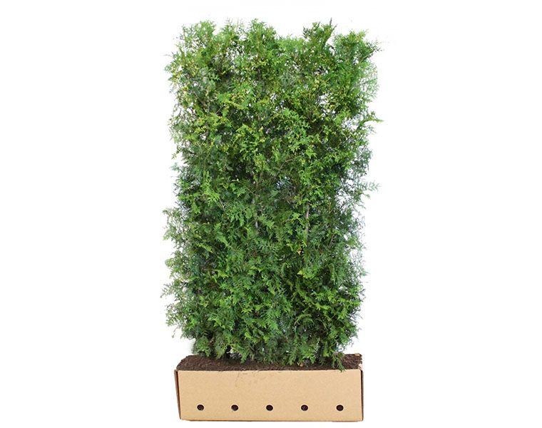 Lebensbaum 'Brabant' Fertig-Hecken 200 cm Fertig-Hecken