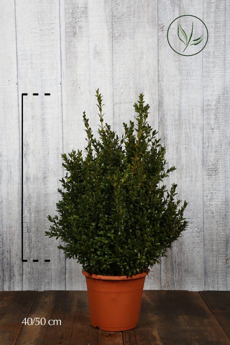 Buchsbaum - Sträucher Topf 40-50 cm