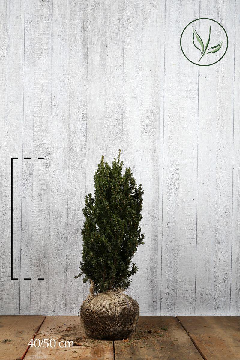 Nicht-fruchtende Becher-Eibe  Wurzelballen 40-50 cm