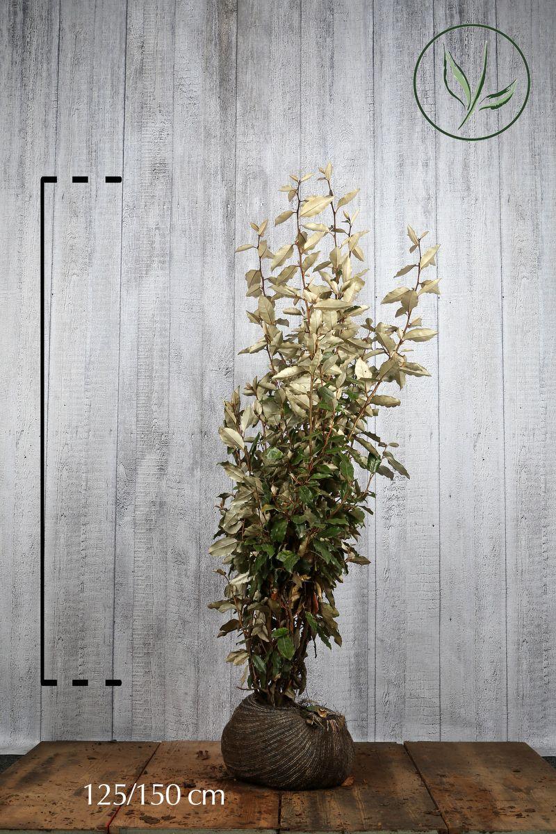 Wintergrüne Ölweide Wurzelballen 125-150 cm