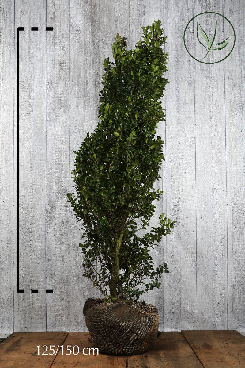 Stechpalme 'Heckenstar' Wurzelballen 125-150 cm