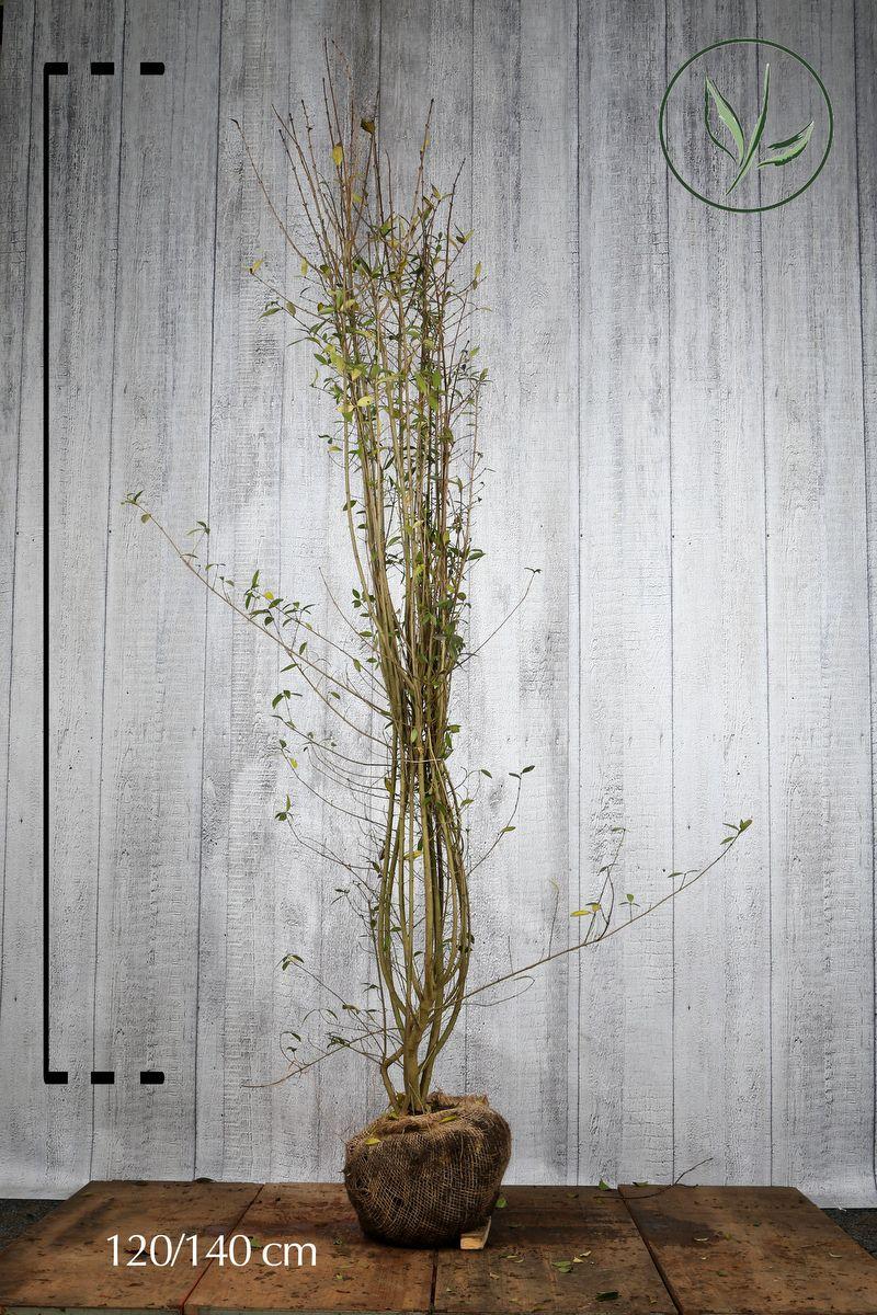 Wintergrüner Liguster 'Atrovirens' Wurzelballen 120-140 cm