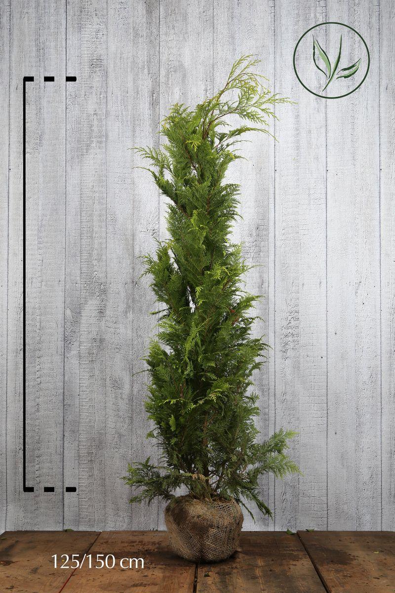 Gelbe Scheinzypresse 'Stardust' Wurzelballen 125-150 cm Extra Qualtität