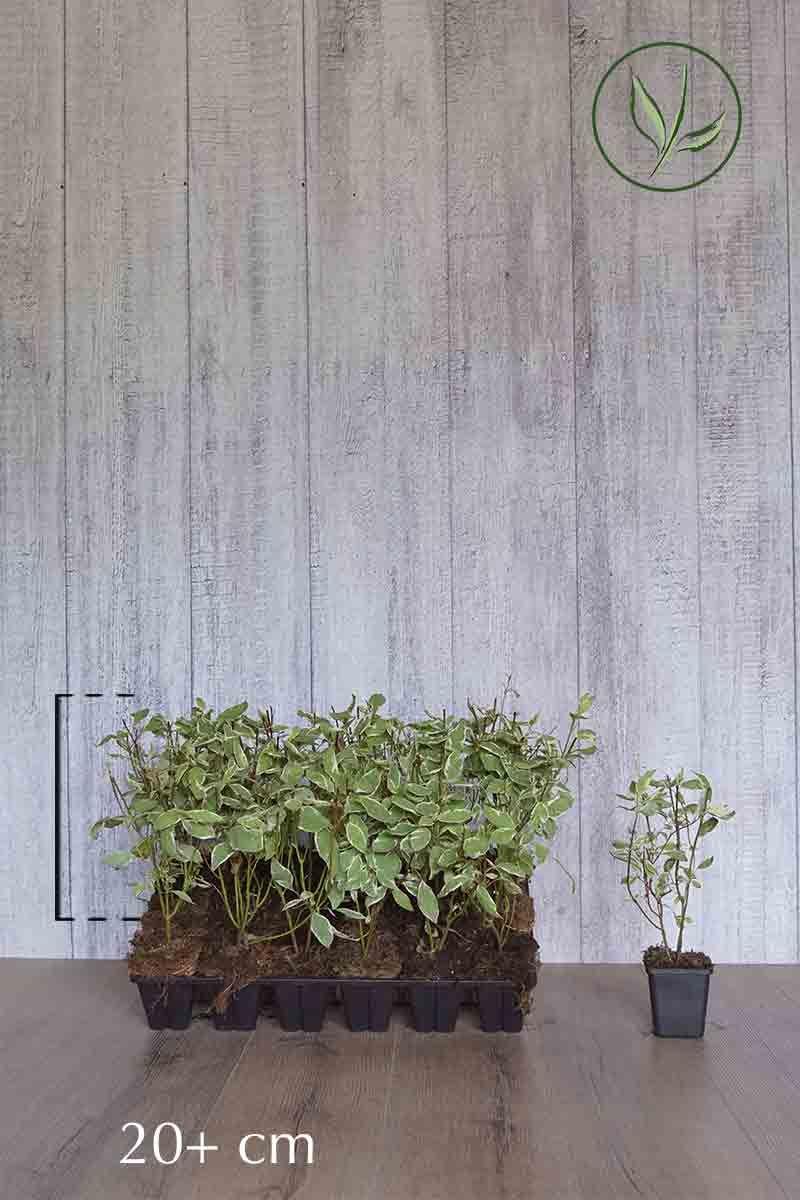 Rotholziger Hartriegel 'Elegantissima' in P9-Anzuchtschale