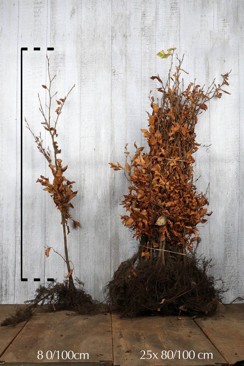 Rotbuche  Wurzelware 80-100 cm