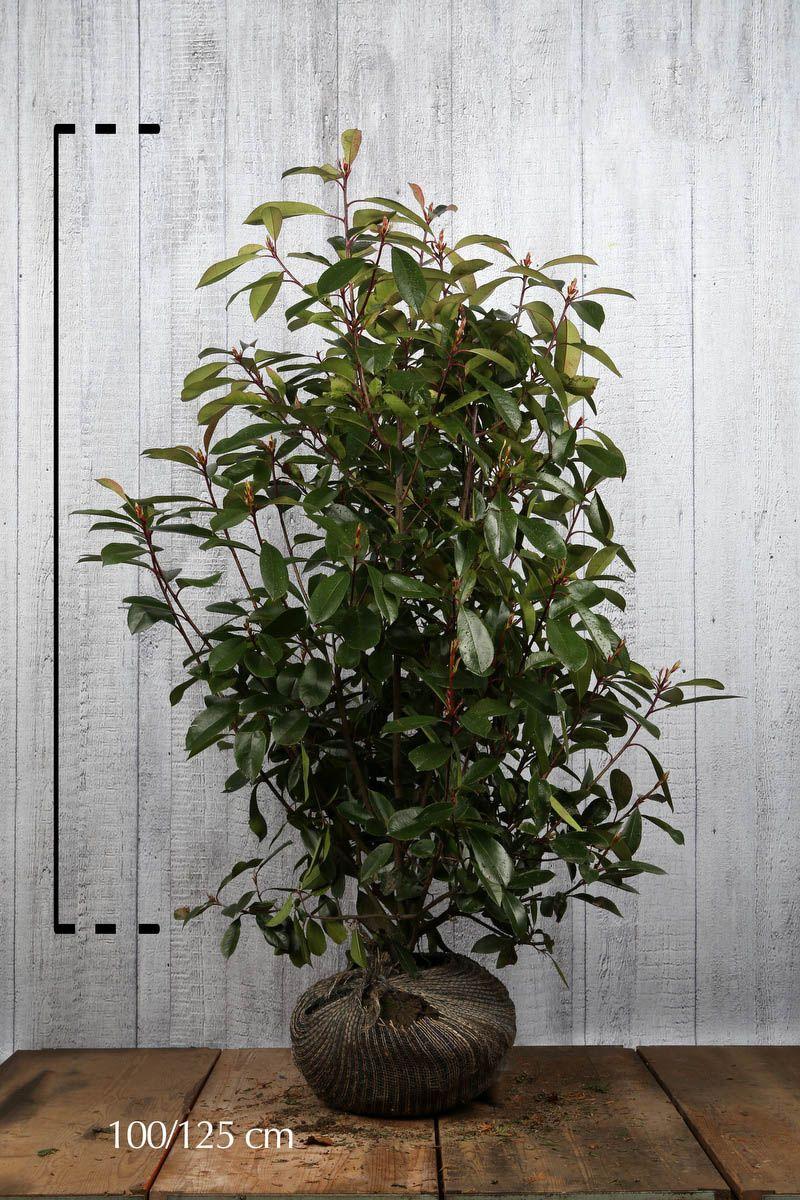 Glanzmispel 'Red Robin' Wurzelballen 100-125 cm