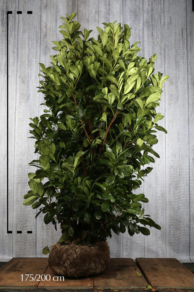 Großblättriger Kirschlorbeer  Wurzelballen 175-200 cm