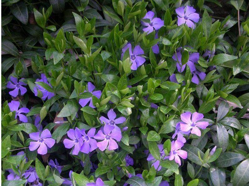 Kleinblättriges Immergrün - blau