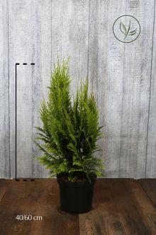 Gelbe Scheinzypresse Topf 40-60 cm