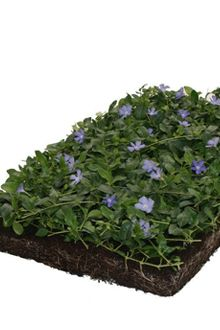 COVERGREEN® Vinca Minor (38 x 57 cm)