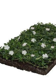 Kleinblättriges Immergrün 'Alba' - Bodendeckermatten