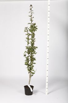 Eingriffeliger Weißdorn  Topf 60-100 cm