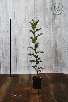 Stechpalme Topf 40-60 cm