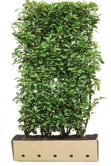 Kirschlorbeer 'Genolia'® Fertig-Hecken 200 cm Fertig-Hecken