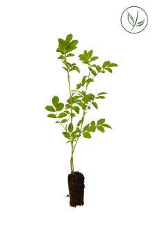 Kartoffelrose - Apfelrose Stecklinge aus der Anzuchtschale 20-40 cm Extra Qualtität