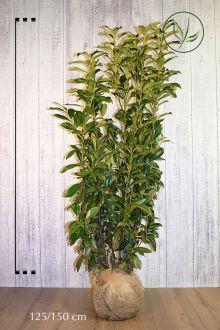 Kirschlorbeer 'Genolia'® Wurzelballen 125-150 cm Extra Qualtität