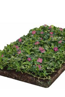 Kleinblättriges Immergrün 'Atropurpurea' - Bodendeckermatten